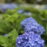 『紫陽花』花言葉は移り気