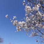 桜を見て一年を感じる